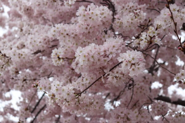 Beauty Benefits Cherry Blossoms