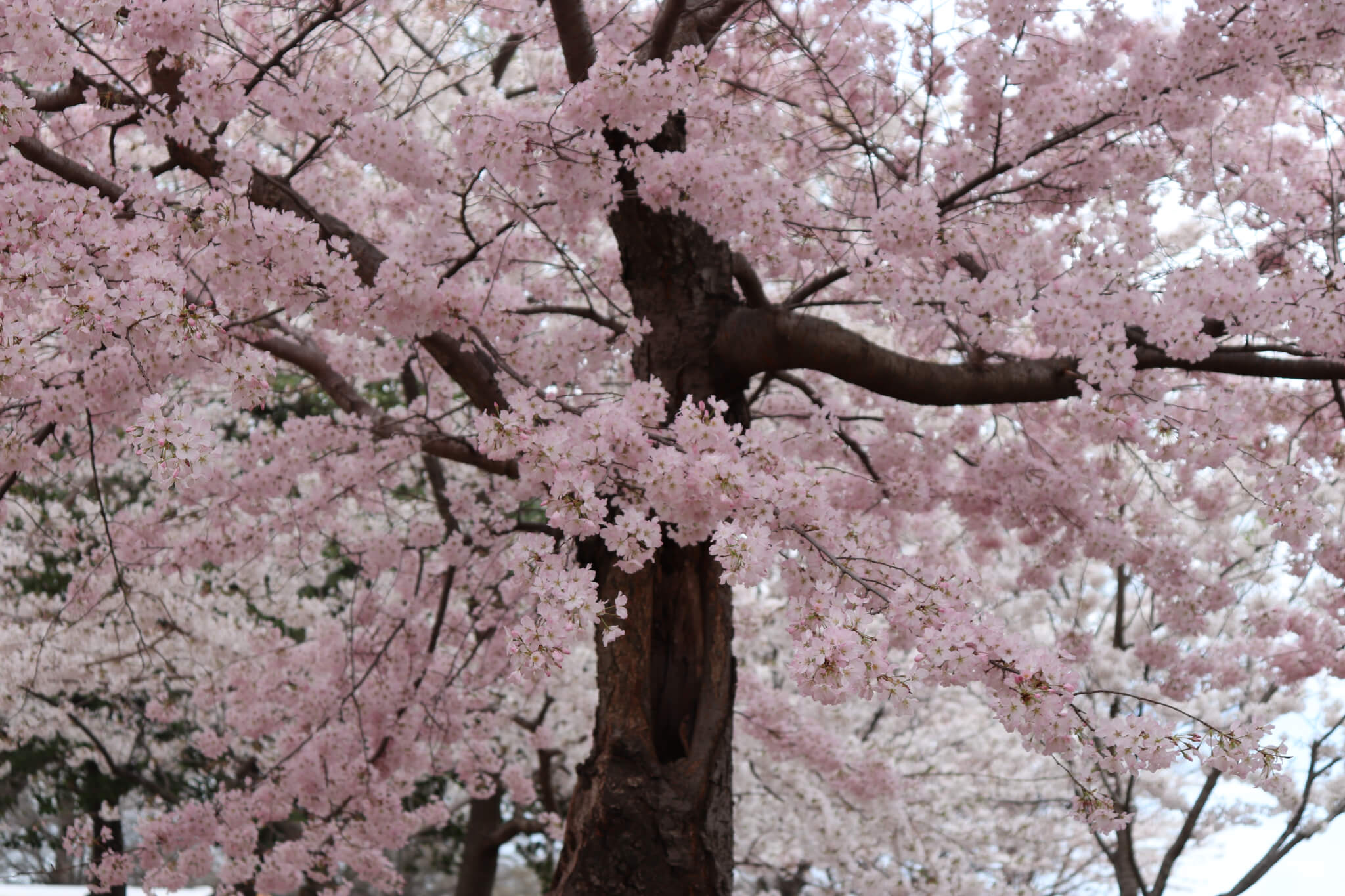 Beauty Cherry Blossoms
