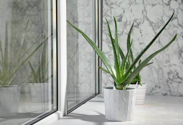 Aloe Vera Easy Plants