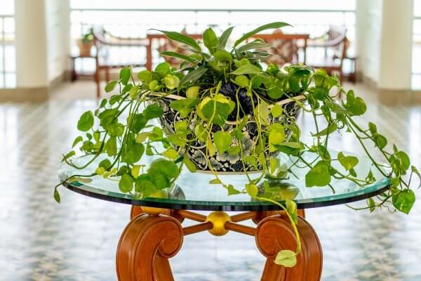 Pothos Easy Plants