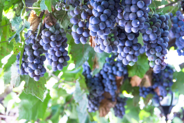 VinoTherapy Grapes