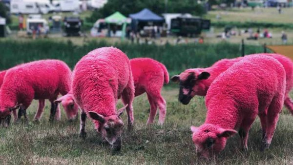 A group of sheep photoshopped to be hot pink.