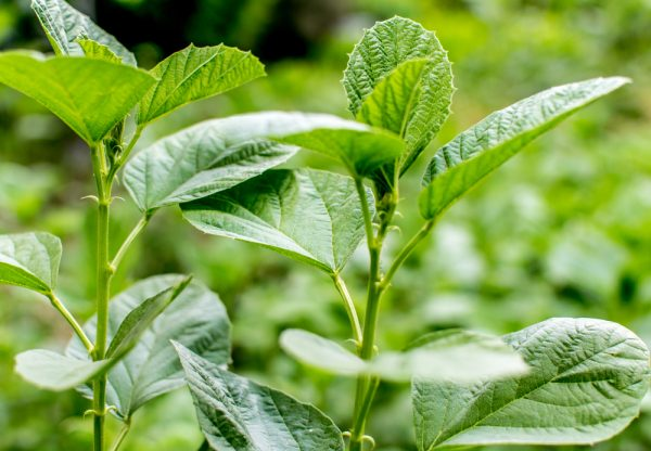 Psoralea Corylifolia (Babchi) plant.