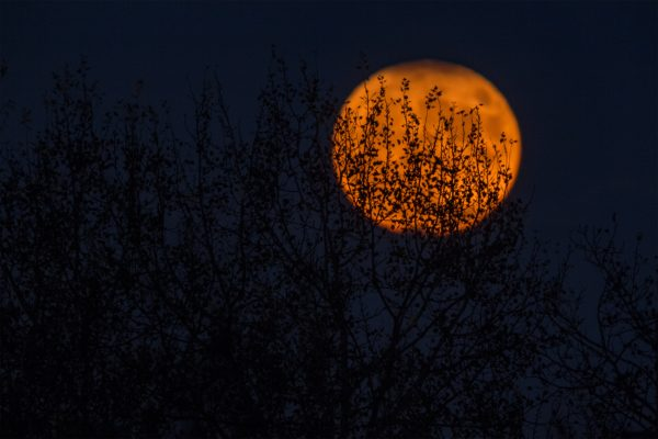 Orange moon in the dark blue sky behind tree.