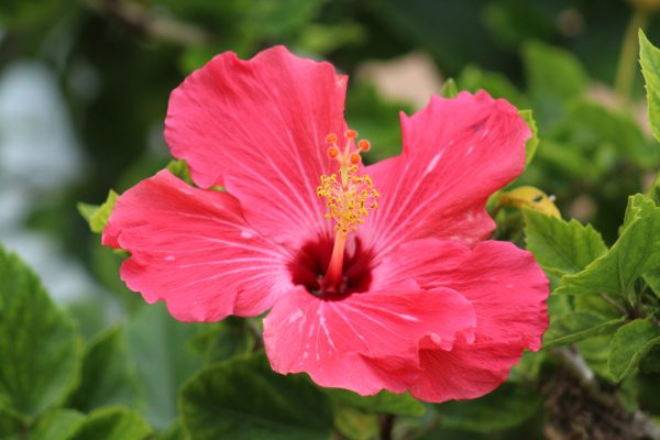 A pink hibiscus - an ingredient used in alternative drinks brands such as Kin Euphorics.