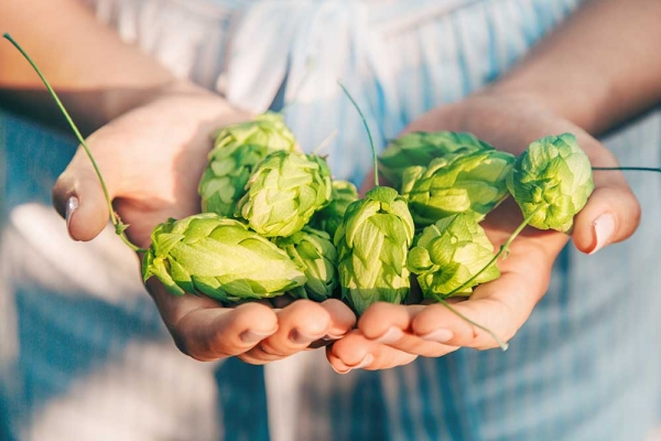 Holding natural hops using both hands.