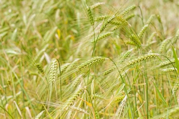 Closeup shot of Barley in a field.